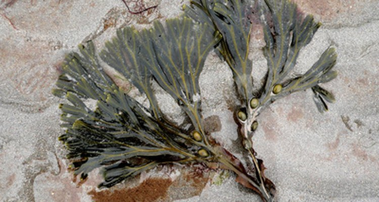 Bladderwrack is a type of seaweed commonly found in nutrition supplements.
