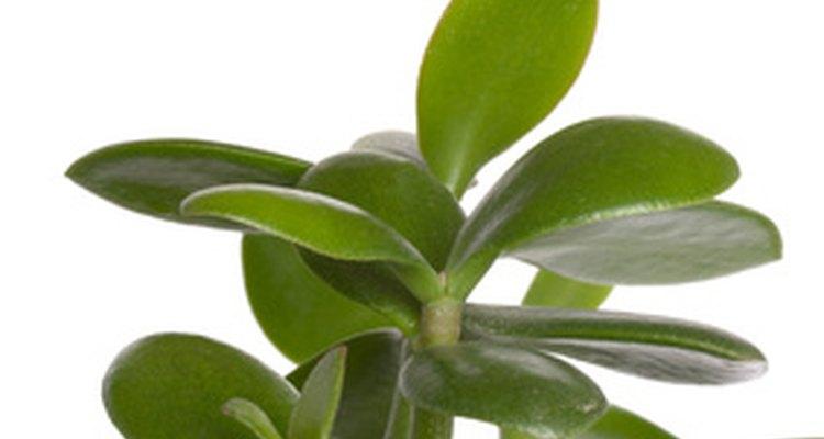 El jade es una planta que se adapta a la poca luz.