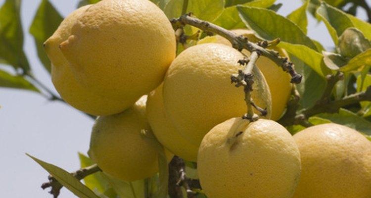 Muitos tipos de doenças que atacam os limoeiros são de fácil prevenção e tratamento