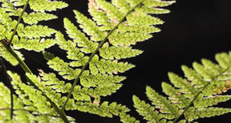 As samambaias são plantas de folhas verdes que naturalmente são encontrados sob a copa de florestas e em áreas úmidas