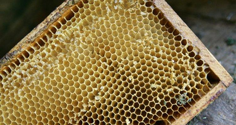 Traças de cera alimentam-se nas células dos favos de mel