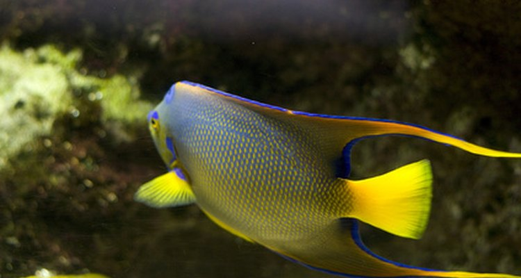 El período de faringula diferencia el desarrollo embrionario de los peces del de los vertebrados superiores como los humanos