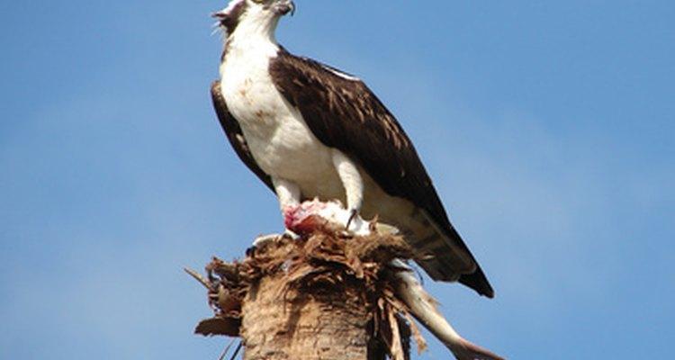 Las águilas pescadoras se encuentran cerca del agua en todo el mundo.