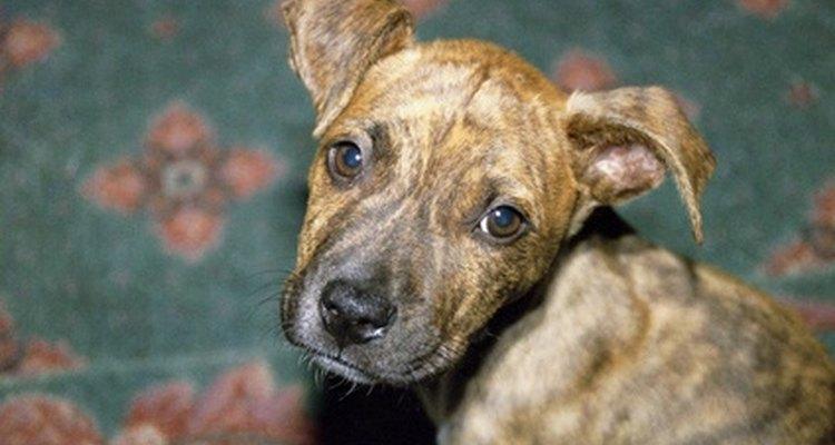 Los pit bulls no son perros violentos por instinto, a pesar de algunos reclamos de la sociedad.