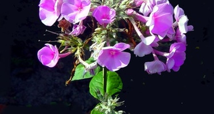 Phlox comes in a variety of colours, including stunning purples.