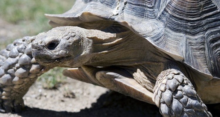 É importante identificar a espécie de uma tartaruga antes de levá-la para casa como bicho de estimação.
