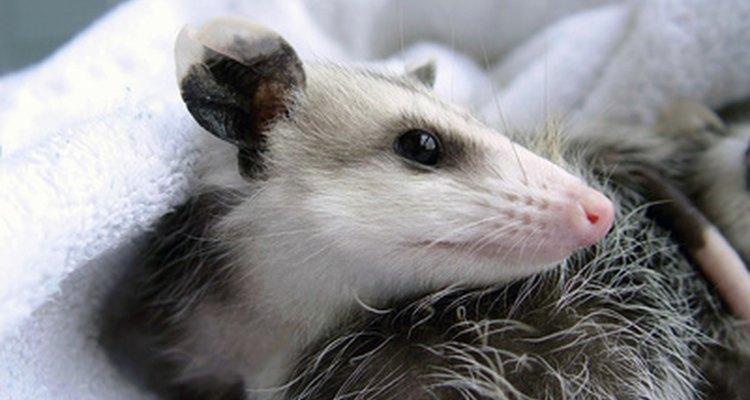 Una zarigüeya es una mascota poco común y muy divertida.