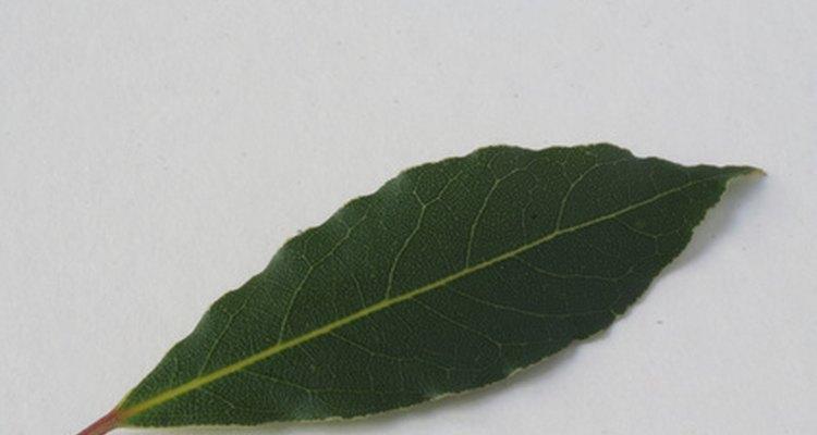 A folha de louro é uma planta perfumada e colorida para se usar em uma coroa de flores.