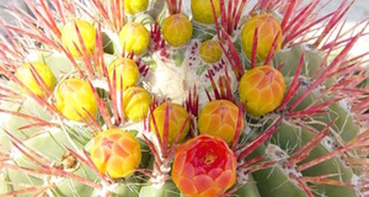 Las puntas del cactus contrastan fuertemente con sus flores.