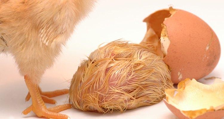 Os pintos, de fato, ajudam uns aos outros a eclodirem do ovo
