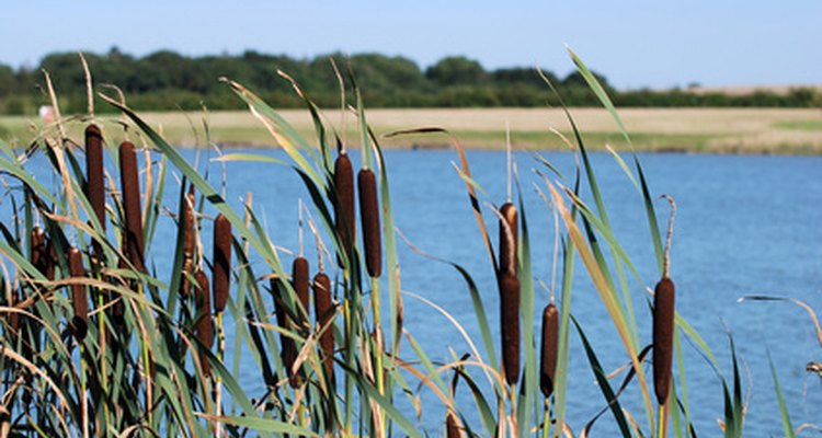 Though bulrushes are often overlooked for use in bouquets, they possess an understated beauty.