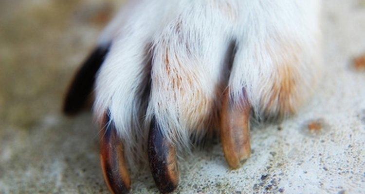 Um fungo pode viver entre os dedos de um cão