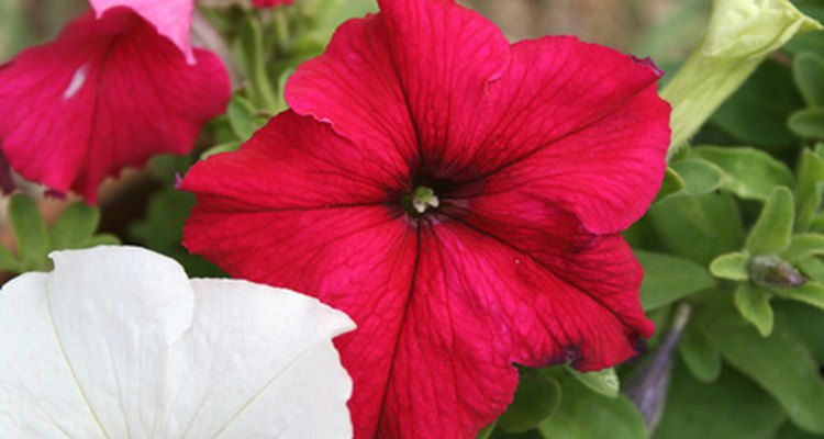 Petúnias florescem durante todo verão se regadas com água suficiente