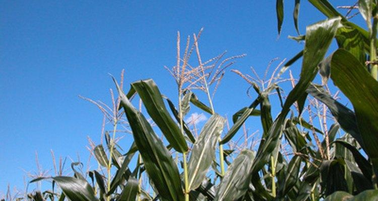 Las plantas producen glucosa durante la fotosíntesis.