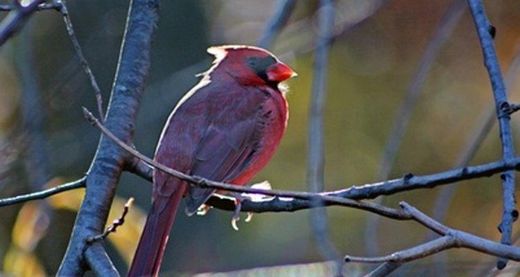 Los cardenales permanecen todo el año en los bosques de hoja caduca.