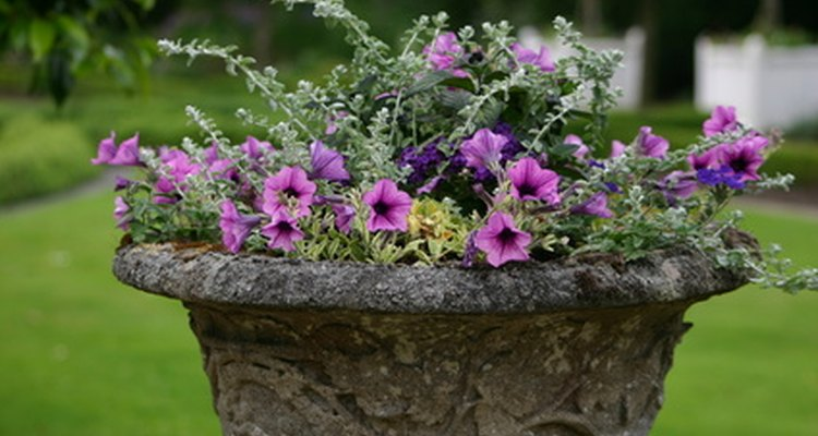 As petúnias em vasilhas precisam de mais irrigação