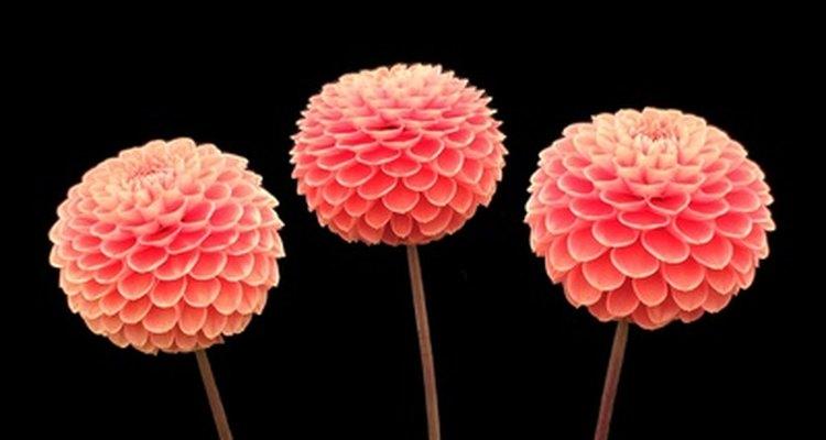Las dalias son populares entre los jardineros que gustan de las flores de colores brillantes.