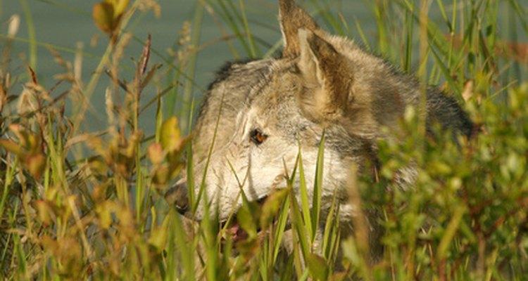 Los lobos comen su presa entera con las hierbas digeridas.