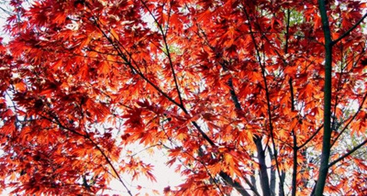 Con el cuidado adecuado, los árboles de arce puede durar muchos años.