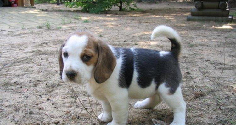 Alimenta con una dieta saludable a tu cachorro beagle para asegurarte de que se convierte en un adulto sano.