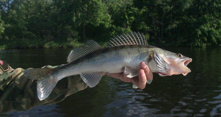 Peixe predador