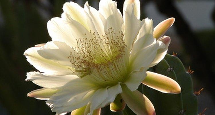 El cactus que florece de noche produce flores blancas exuberantes.