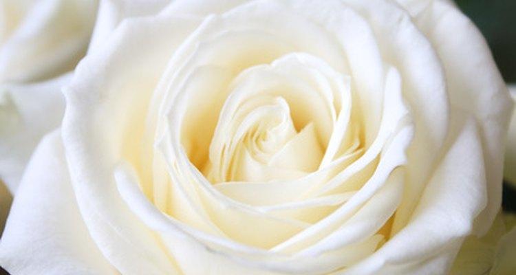 La rosa blanca es una flor tradicional en los ramos de las novias.