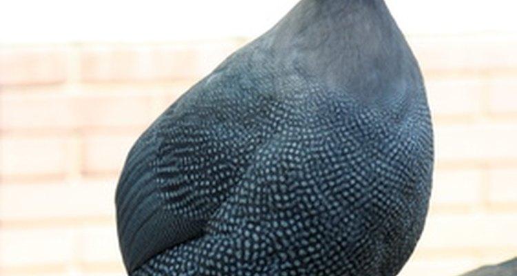 Un ave de Guinea macho se llama gallo, mientras que una hembra se llama gallina.