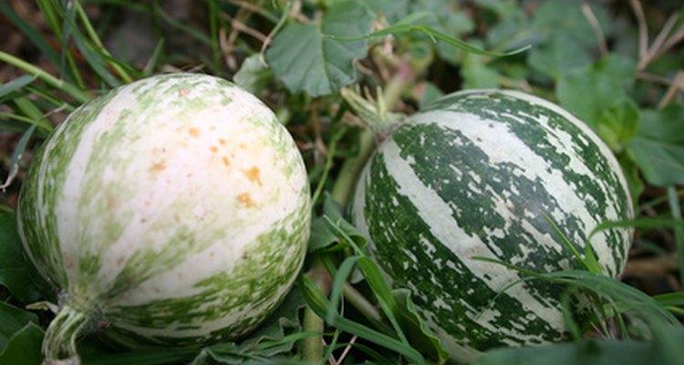 Las coles son vegetales de clima frío que crecen en suelos fértiles.