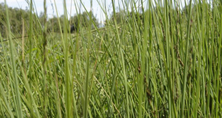 O trigo sarraceno precisa de três meses sem ocorrer geada