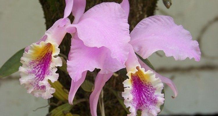 Las orquídeas son delicadas y hermosas.