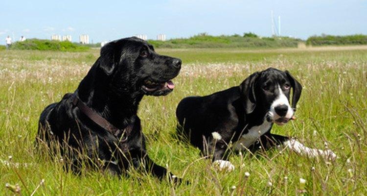 Los perros tienen ganglios linfáticos internos y externos.