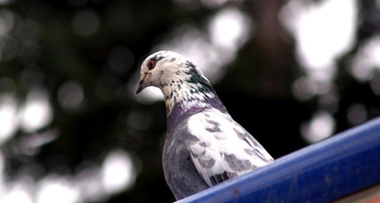 As pombas, como muitas variedades de pássaros, gostam de sementes de girassol
