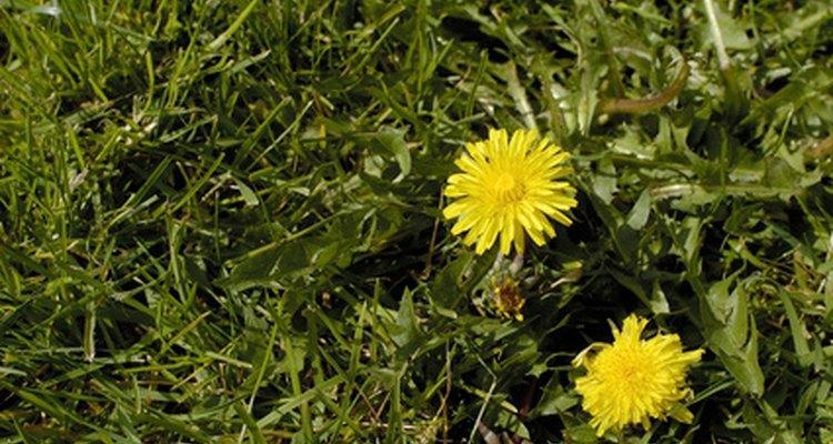Los pesticidas químicos pueden eliminar las malas hierbas de tu césped.