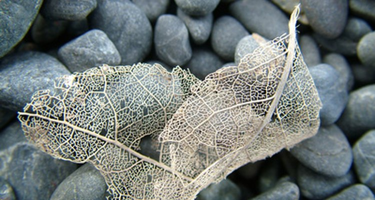Algunas peste de los rosales esqueletonizan las hojas.