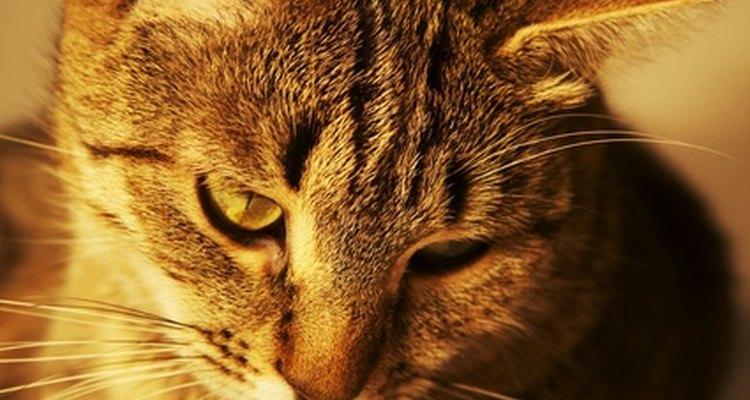 Fezes com sangue pode indicar um problema no trato digestivo dos gatos