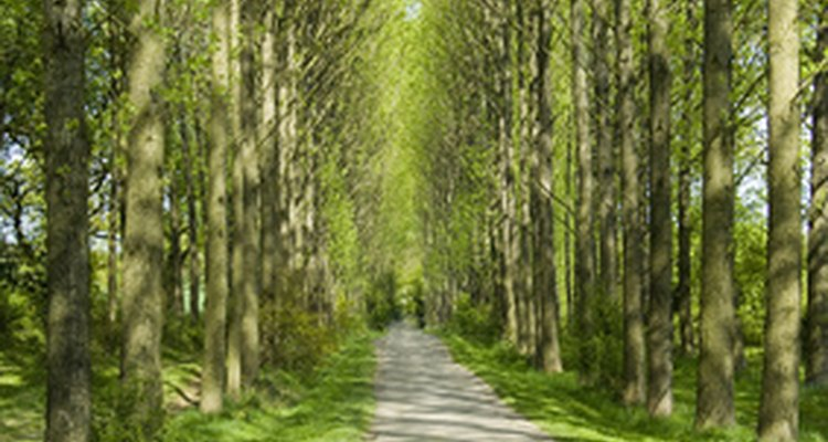 Poplar trees are a potential source for hydrocarbons.