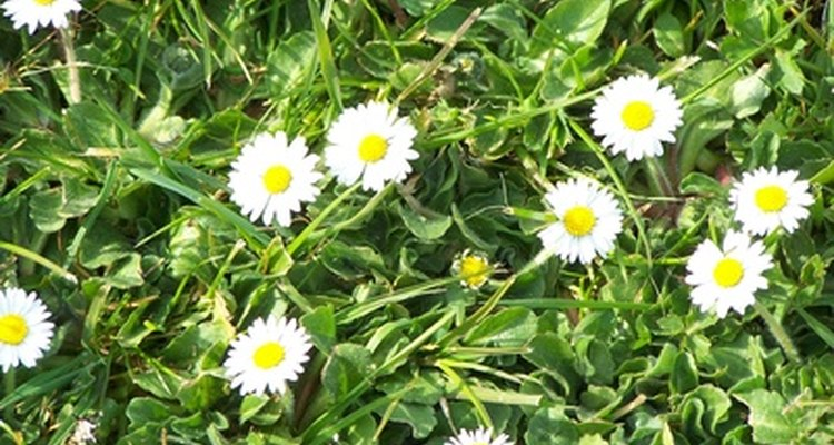 La margarita tiene muchos nombres descriptivos, incluyendo estrella de María.