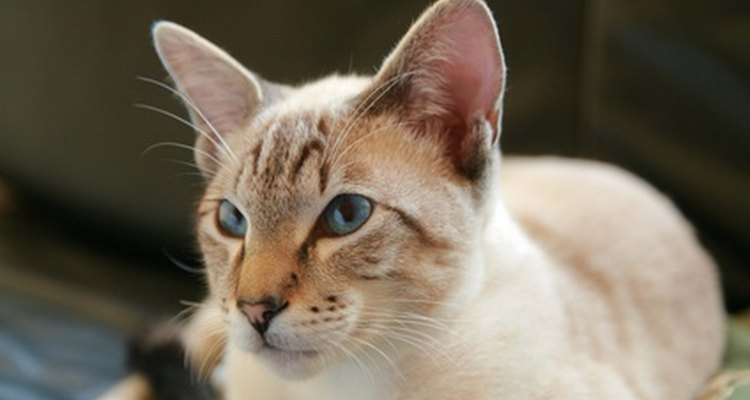 Siamese cats often lose their hair.