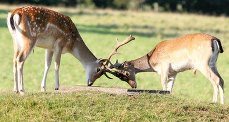 Los machos pueden llegar a terminar irremediablemente entrelazados durante un combate y morir de inanición.
