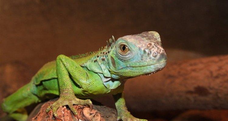 Sin luz solar adecuada, los reptiles pueden llegar a volverse muy lentos.