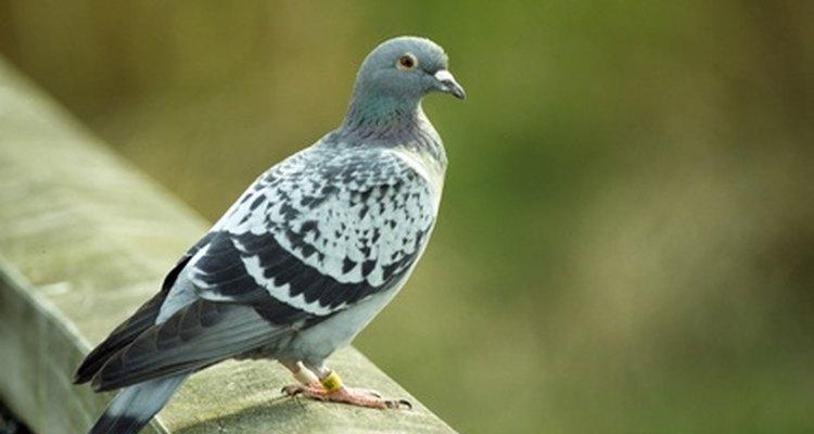 Las palomas pueden convertirse en plagas muy molestas.