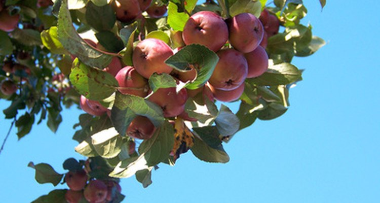 Apples are ready to harvest on a tree showing good productivity.
