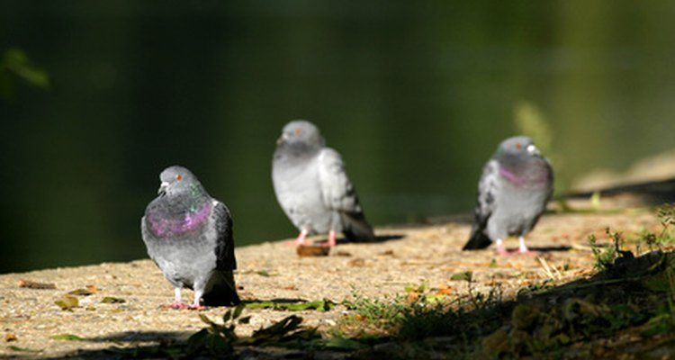 While friendly and docile, pigeons can create problems if they frequent your garden.