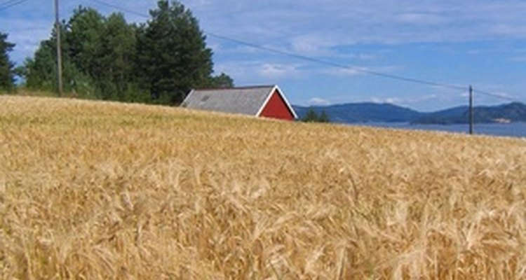 El cultivo de avena es importante en Estados Unidos.