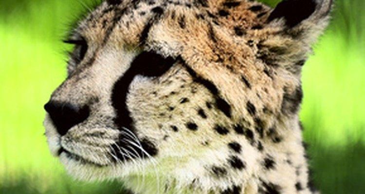 Los grandes gatos son opciones populares para disfraces con temática de selva.