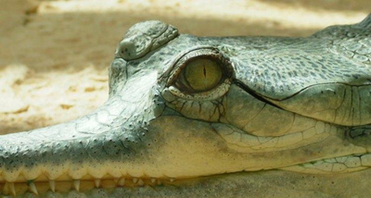 Crocodilos podem mover seus órgãos para permitir a expansão dos pulmões