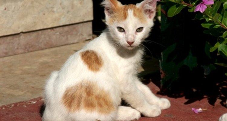 Os gatos, especialmente filhotes, são propensos à cólica