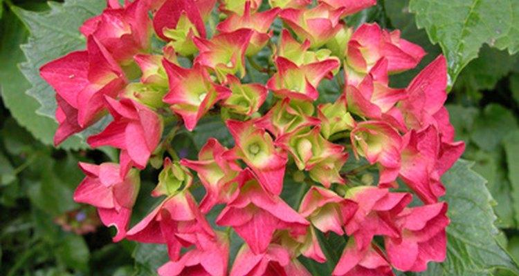 Cuidados adequados depois que as flores murcham mantêm as hortênsias saudáveis