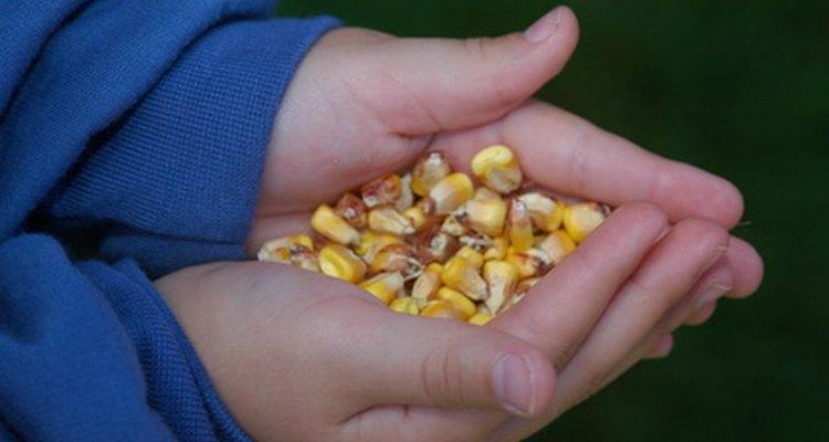 Pavões geralmente são alimentados com milho e grãos